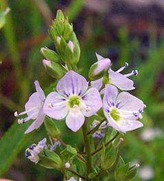 Foto flor Veronica anagallisaquatica